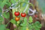 fot. Pomidory. KROSAGRO